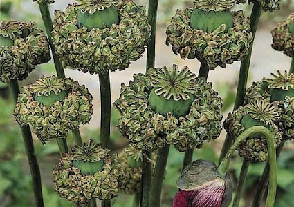 Papaver laciniatum 'Breadseed Varieties'