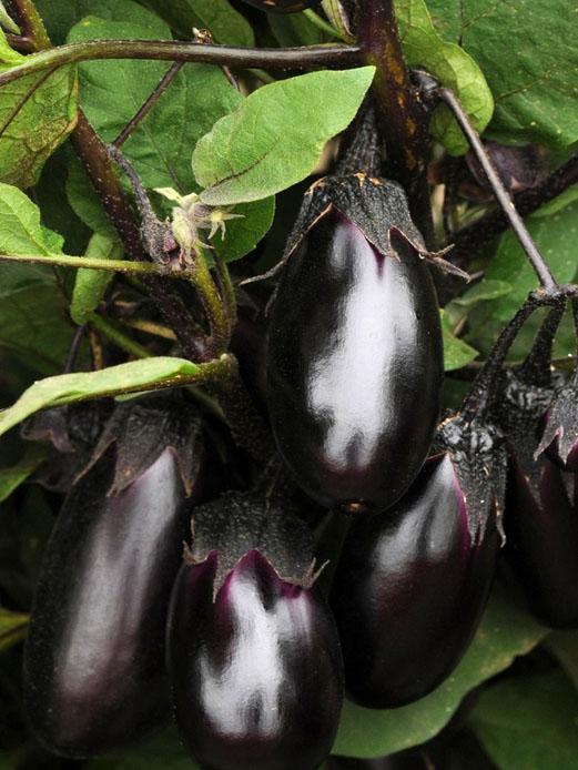 Eggplant 'Patio Baby' AAS