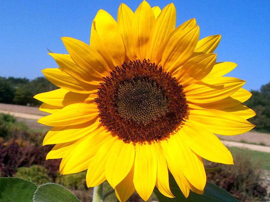 Helianthus annuus 'Sunrich Yellow'
