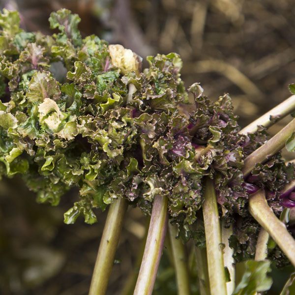 Brussels Sprouts x Kale KALETTES 'Snow Drop'