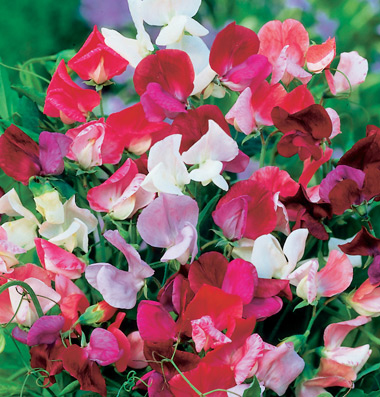 Lathyrus odoratus 'Old Spice Mix' Old-Fashioned Sweet Pea