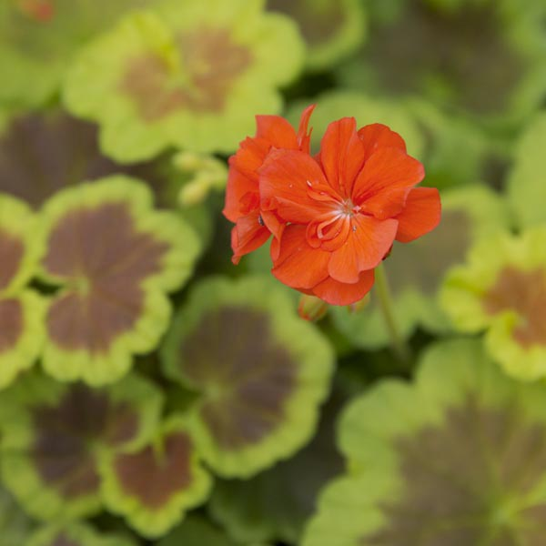 Fancy Zonal Geranium 'Occold Shield'