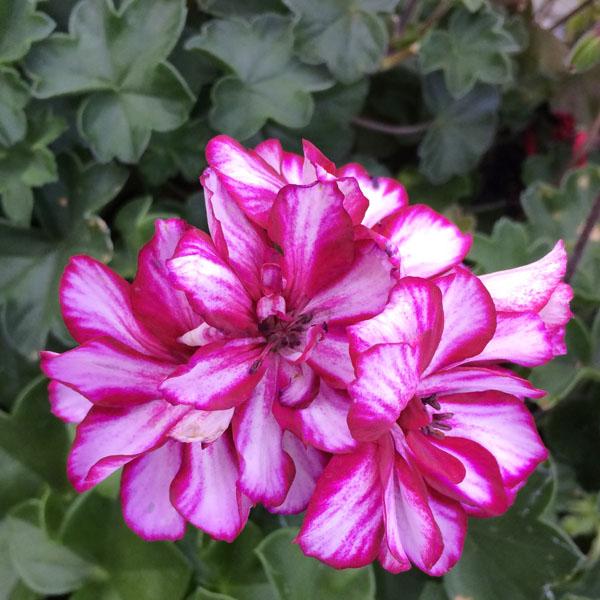 Geranium 'Precision Burgundy Ice' ivy geranium