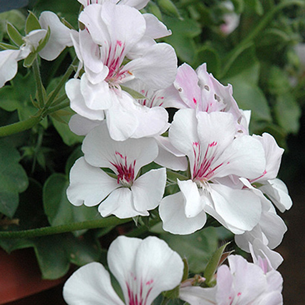 Geranium 'Precision White with Red Eye' ivy geranium