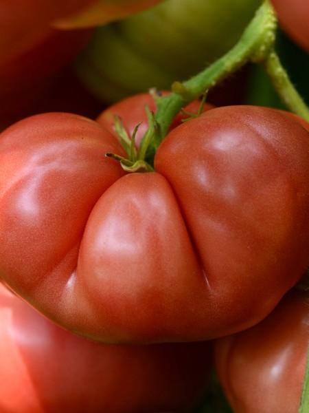 Tomato 'Big Brandy'