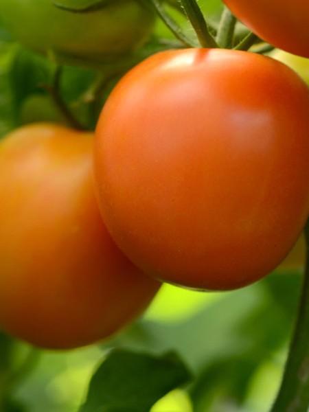 Tomato 'Perfect Flame'