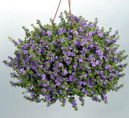 Bacopa 'Scopia Double Indigo'