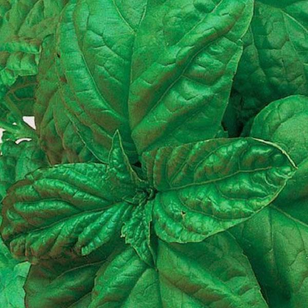 Basil 'Bolloso Napoletano' (Ocinum basillicum)