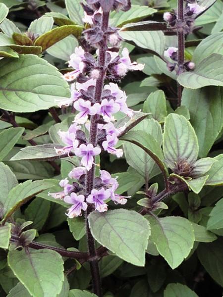 Basil 'Magic Mountain' (Ocimum basilicum)