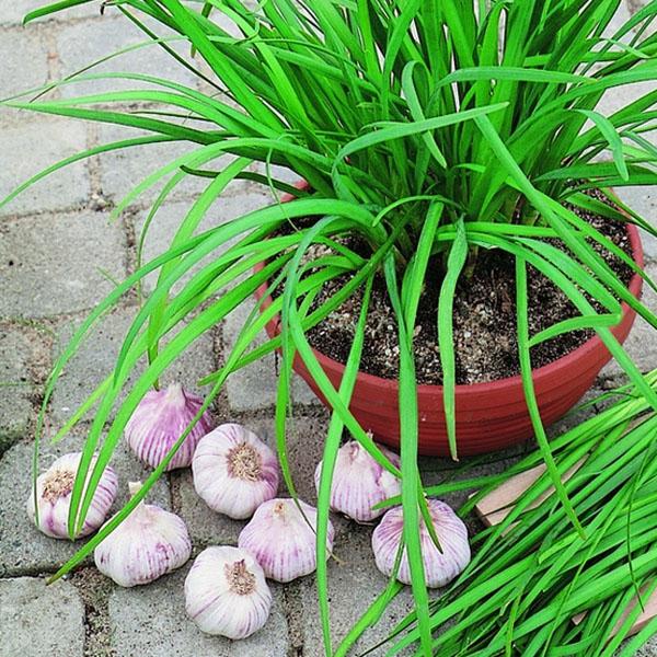 Chives garlic 'Geisha' (Allium sibiricum)