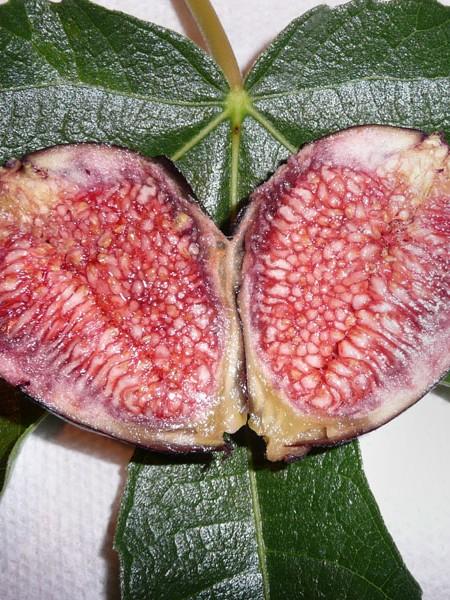 Fig 'Violet de Bordeaux' (ficus)