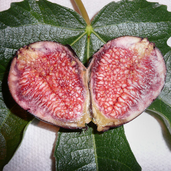 Fig 'Violet de Bordeaux' (ficus)