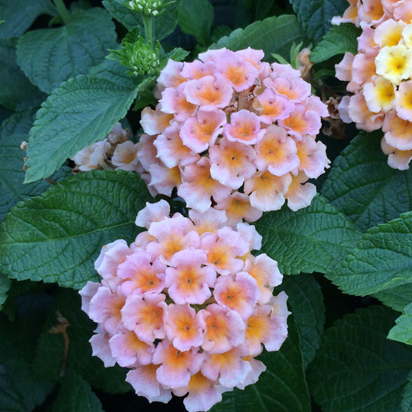 Lantana 'Little Lucky Peach Glow'