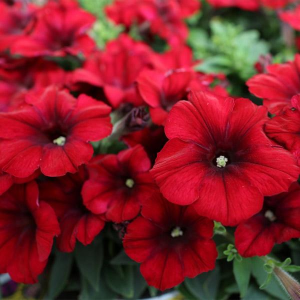 Petunia 'Crazytunia Red Blues'