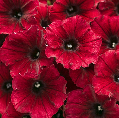 Petunia 'Supertunia Black Cherry'