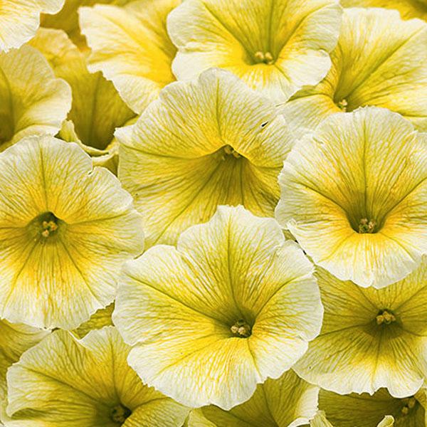 Petunia 'Supertunia Limoncello'