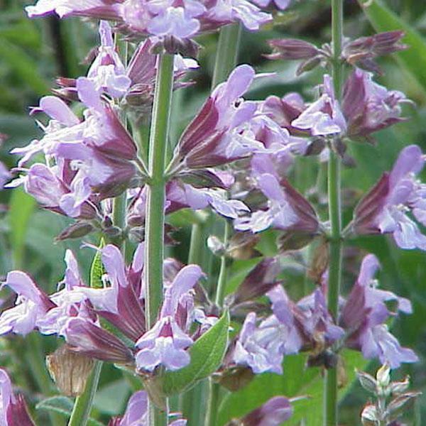 Sage 'Garden Sage' (Salvia officinalis)