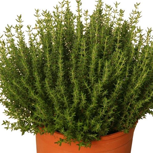 Thyme 'Faustinoi' (Thymus vulgaris)
