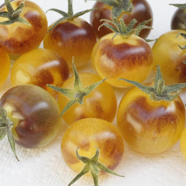 Tomato INDIGO™ 'Cream Berries'