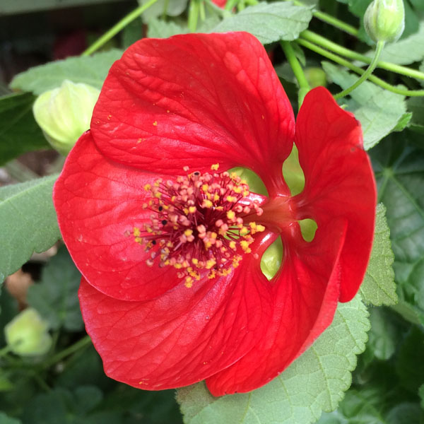 Abutilon 'Lucky Lantern Red'