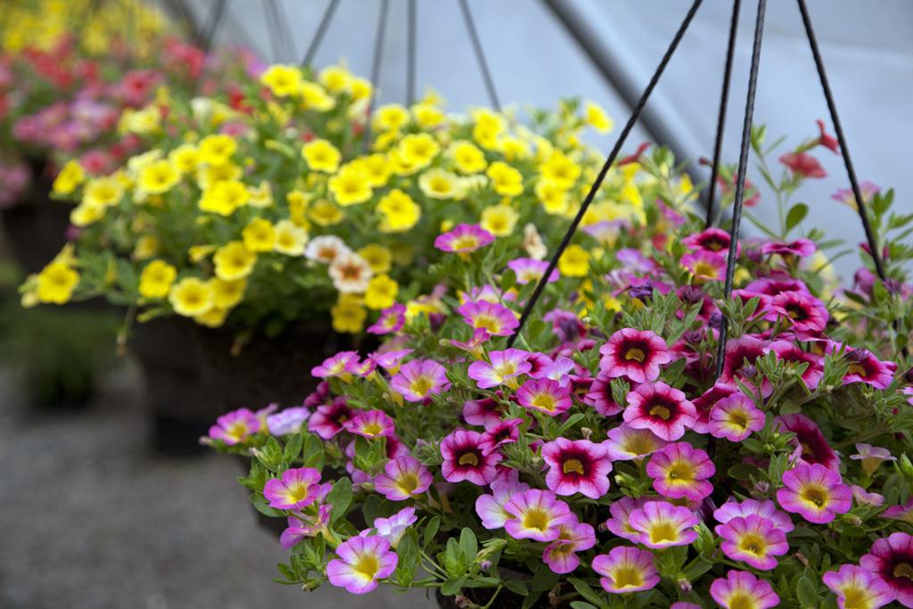 Petunia Baskets
