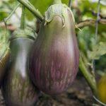Eggplant 'Dusky'
