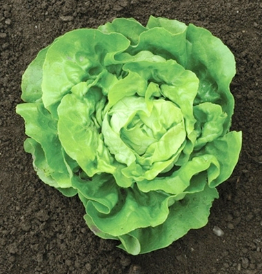 Lettuce 'Dancine Mountain' Mini Butterhead