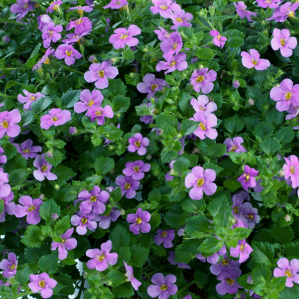 Bacopa 'Scopia Double Lavender'