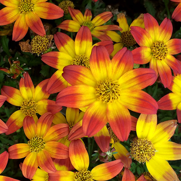 Bidens 'Beedance™ Painted Red'