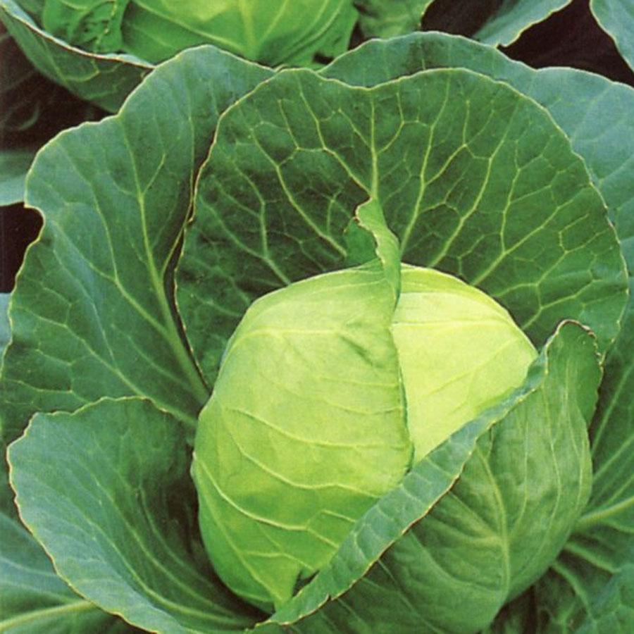 Cabbage 'Golden Acre'