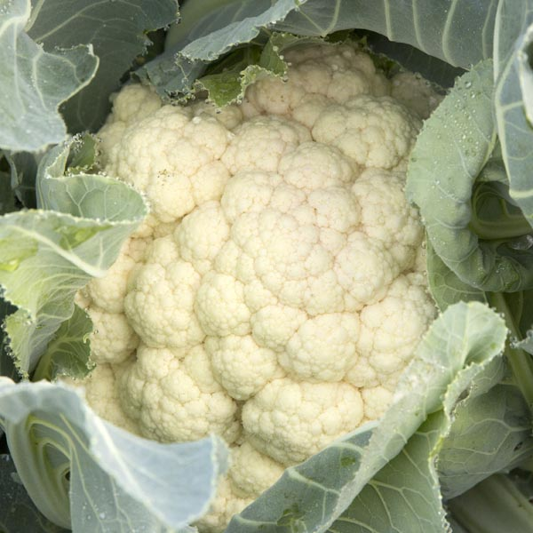 Cauliflower 'Snowbowl'