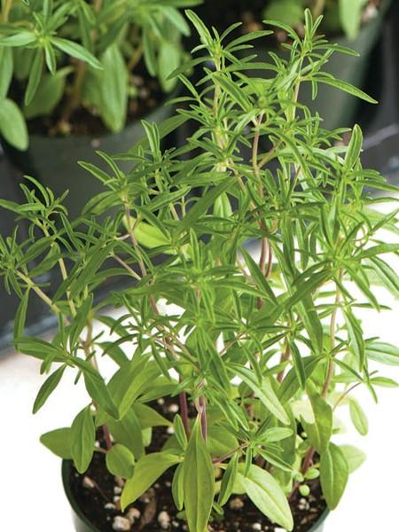 SAVORY 'Compact Summer' (Satureja hortensis)