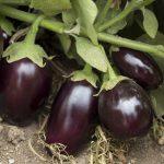 Eggplant 'Pot Black'