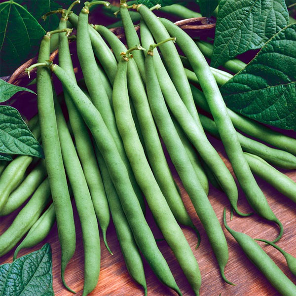 Heirloom Bean 'Provider' Bush Bean