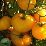 Heirloom Tomato 'Azoychka2'