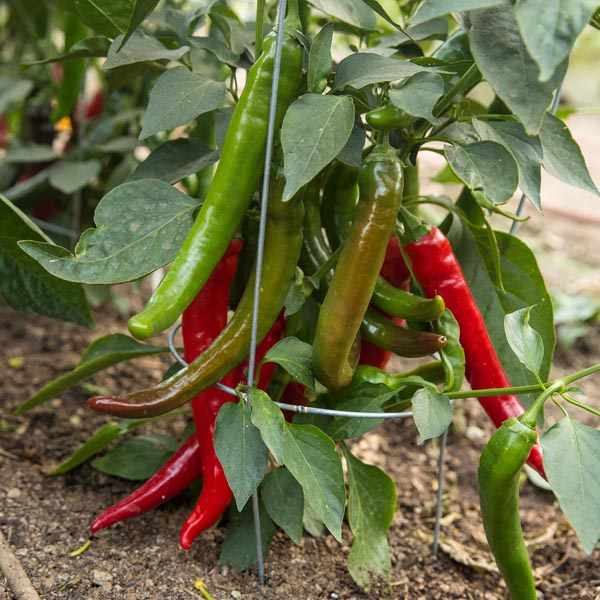 Pepper (Hot) 'Garden Salsa'