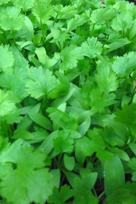 Cilantro 'Pokey Joe' (Coriandrum sativum)