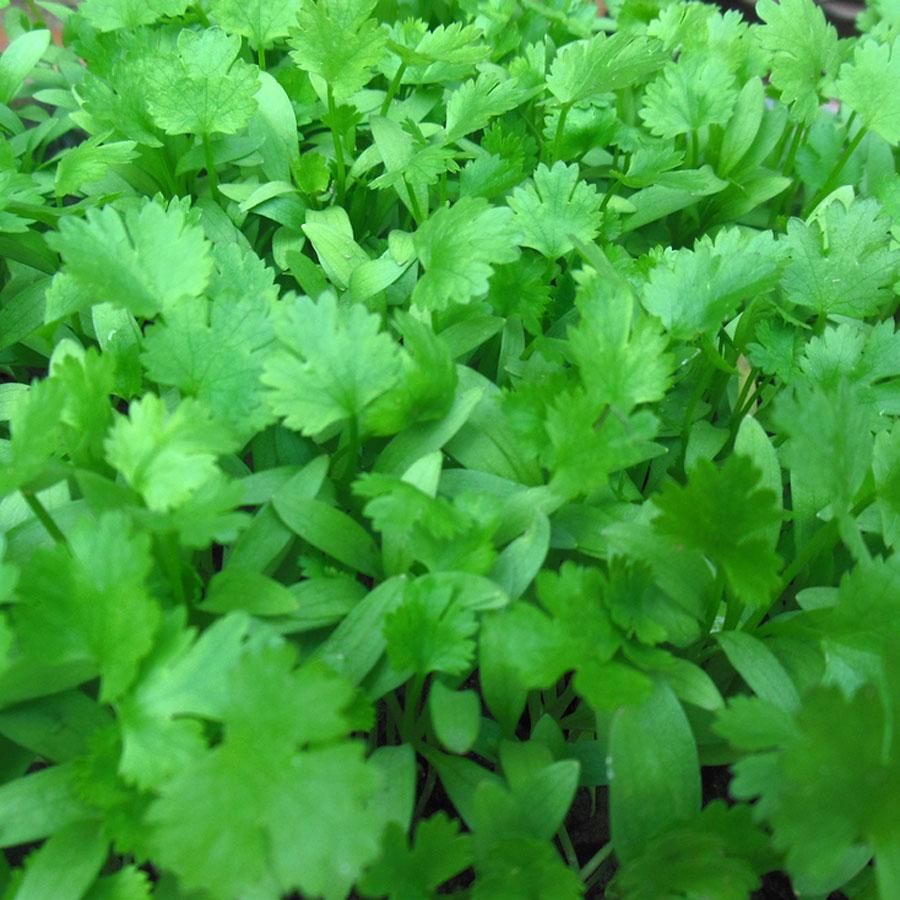 Cilantro 'Pokey Joe' (Coriandrum sativum)