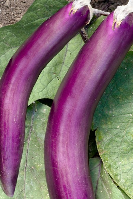 Eggplant 'Ping Tung Long' Grafted Mighty Veggie