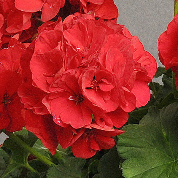Geranium 'Dynamo Dark Red' zonal