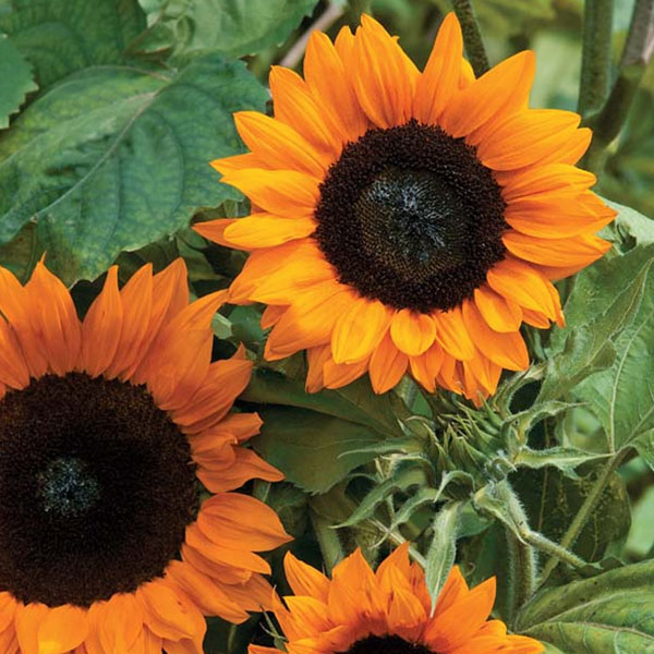 Helianthus annuus 'Copper Queen' Sunflower