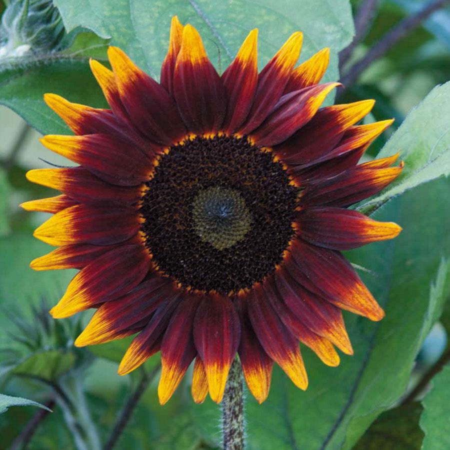 Helianthus hybridus F1 'Shock O Lat' Sunflower