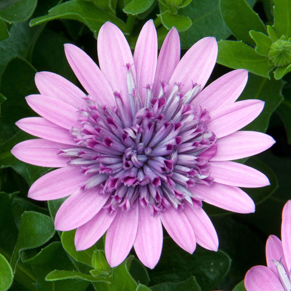 Osteospermum '4D Pink'