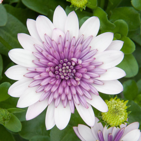 Osteospermum '4D Violet Ice'