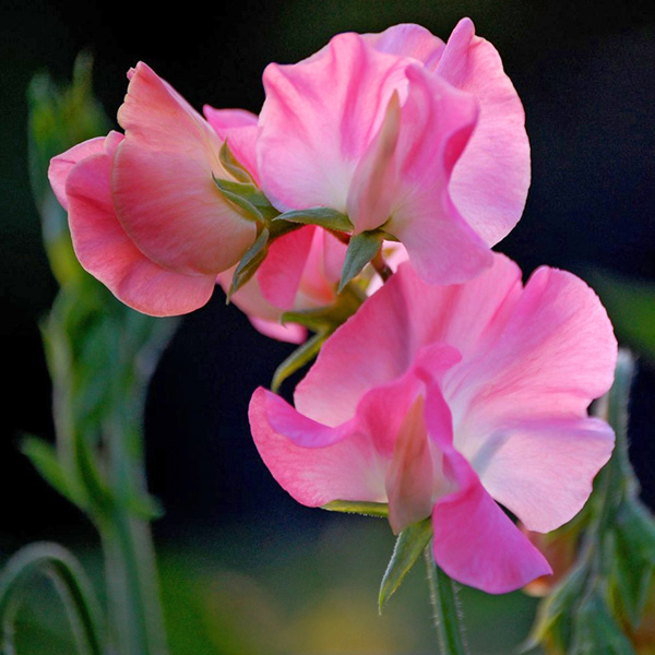 Lathyrus odoratus 'Mammoth Deep Rose' Old-Fashioned Sweet Pea