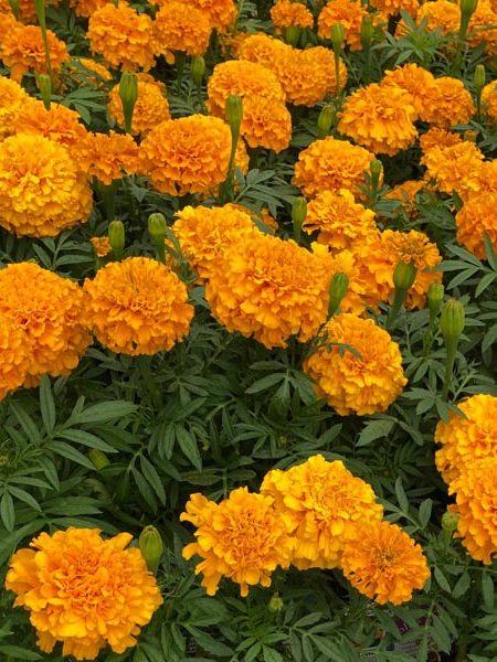 Tagetes erecta 'Proud Mari Orange'