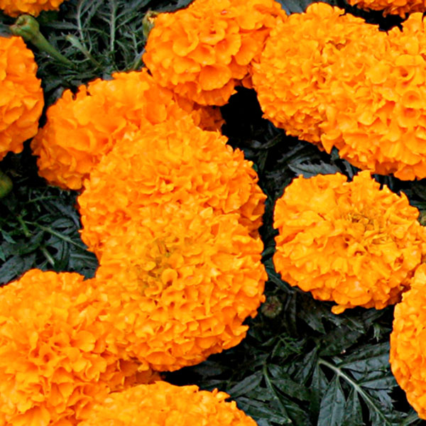 Tagetes erecta 'Proud Mari Orange'