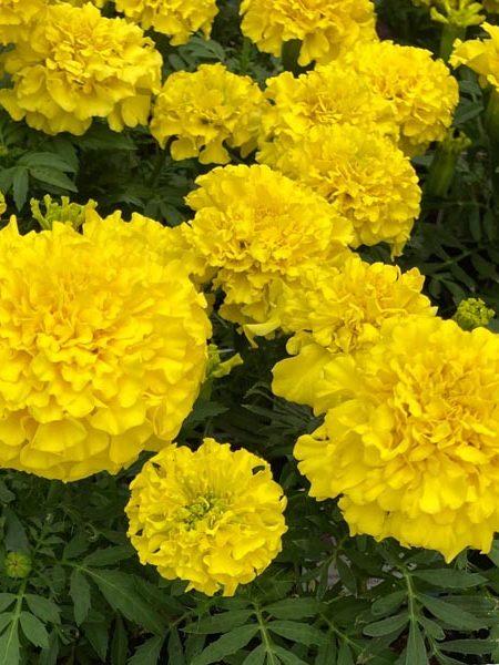 Tagetes erecta 'Proud Mari Yellow'