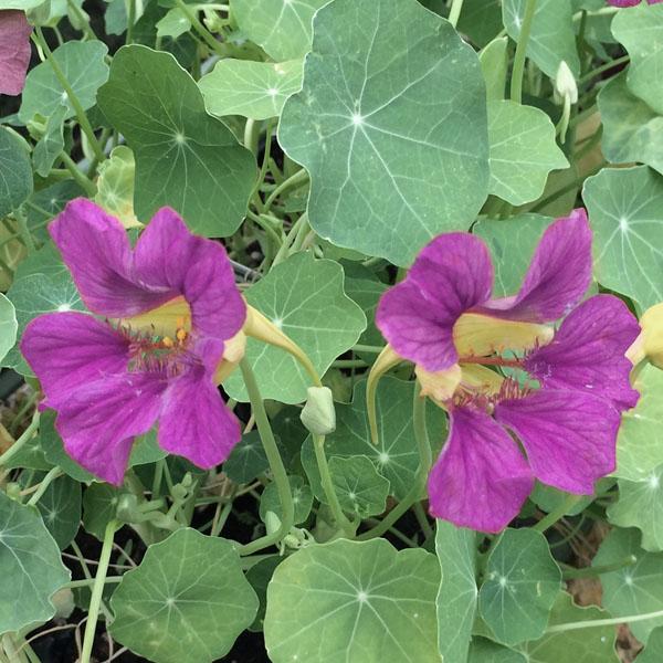 Tropaeolum majus 'Purple Emperor'