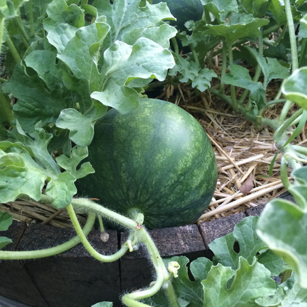Melon 'Sugar Pot' Watermelon